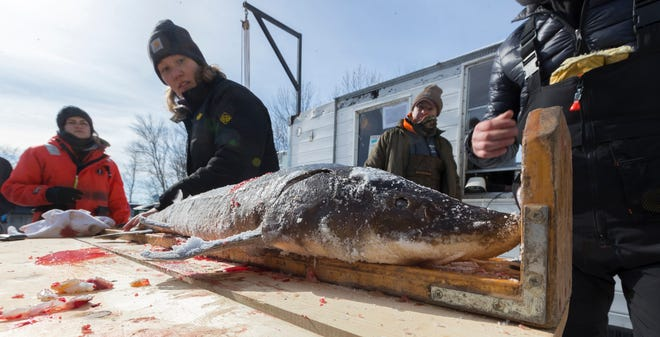 Sturgeon are registered and samples taken during the Wisconsin sturgeon spearing season on the Winnebago System of lakes.