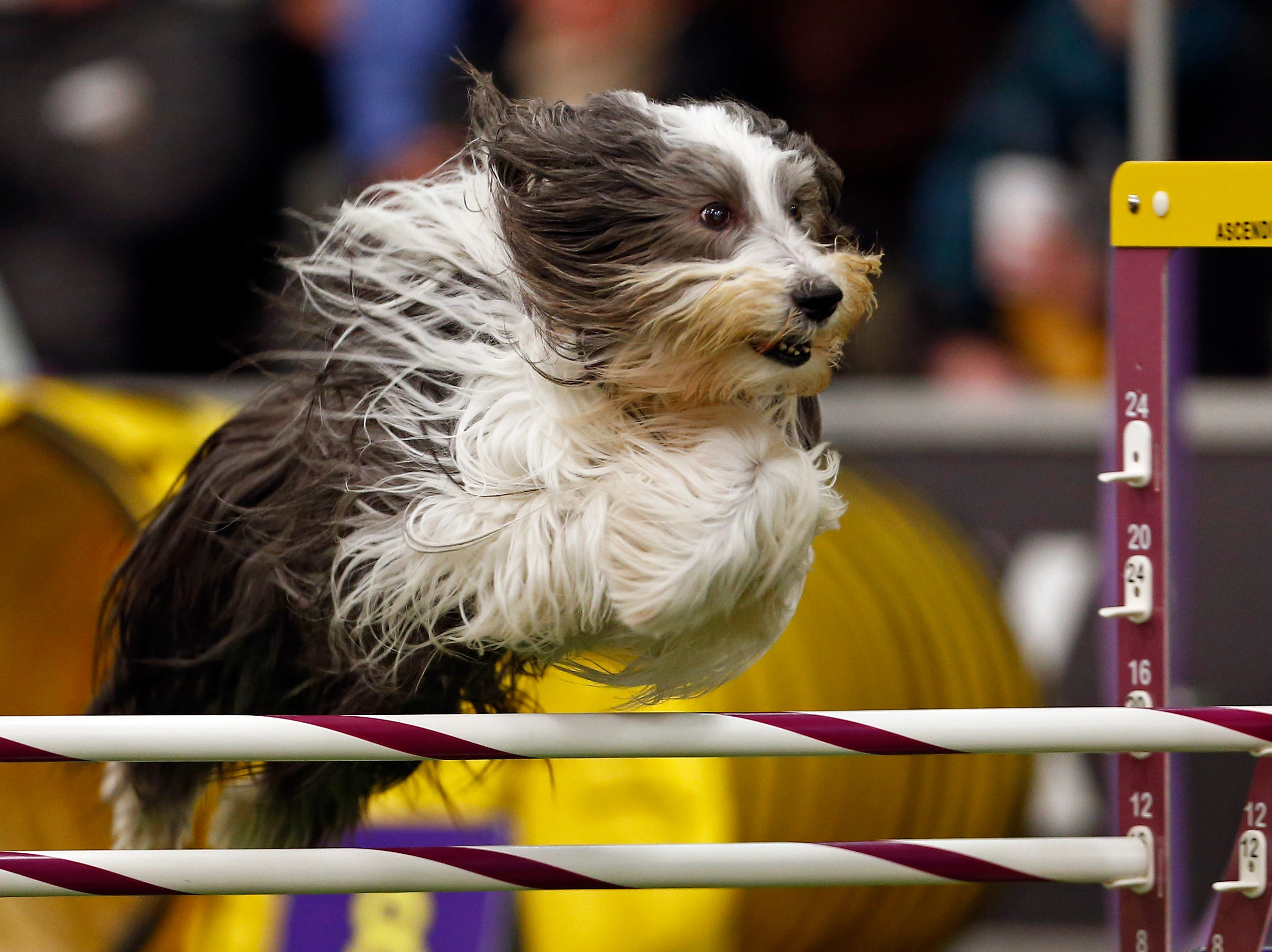 Poppet, a Bearded Collie, is seen during masters agility preliminaries.