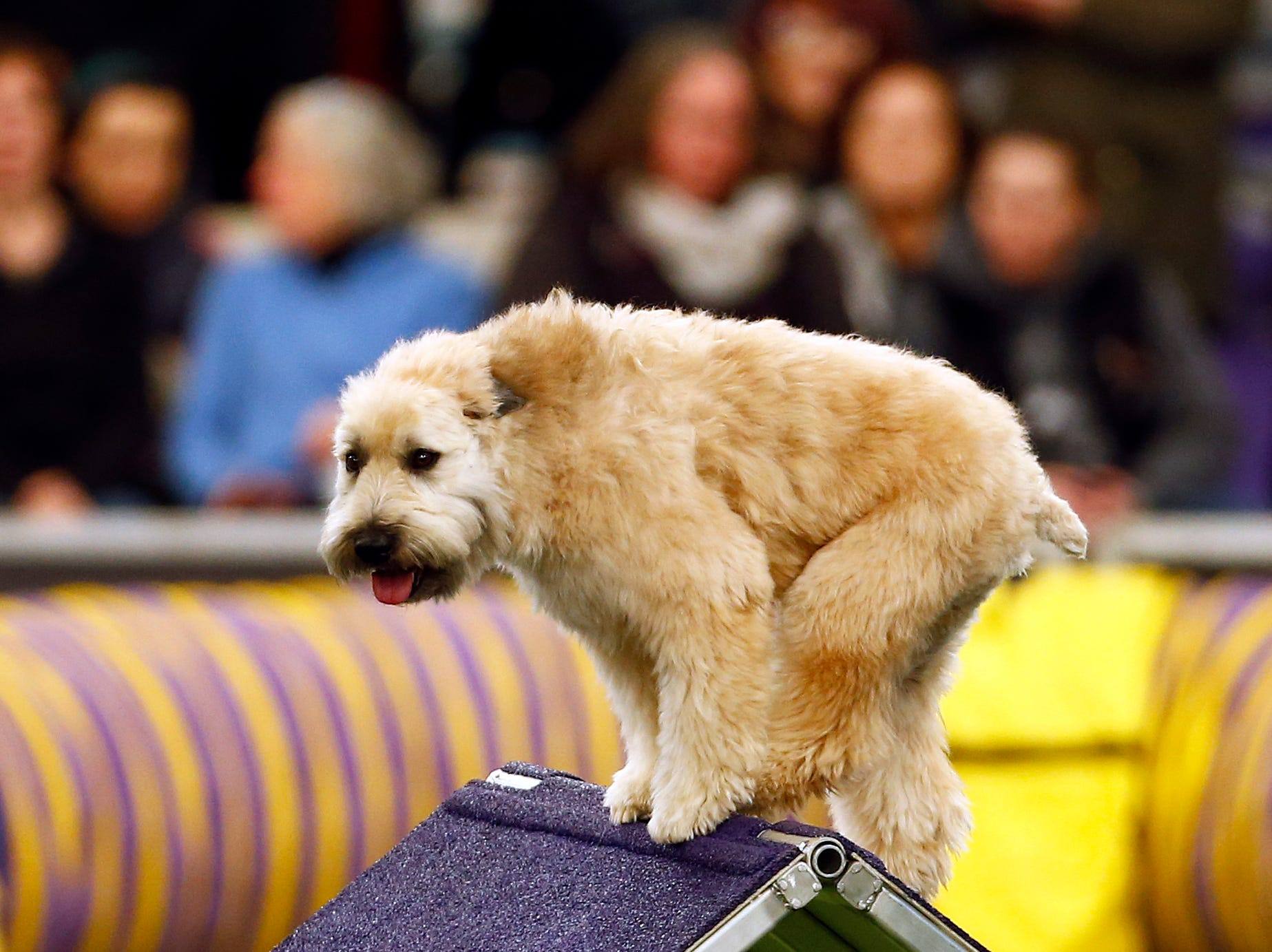 Yogi, a Soft Coated Wheaten Terrier, is seen during masters agility preliminaries at the 143rd Annual Westminster Kennel Club Dog Show at Piers 92/94.