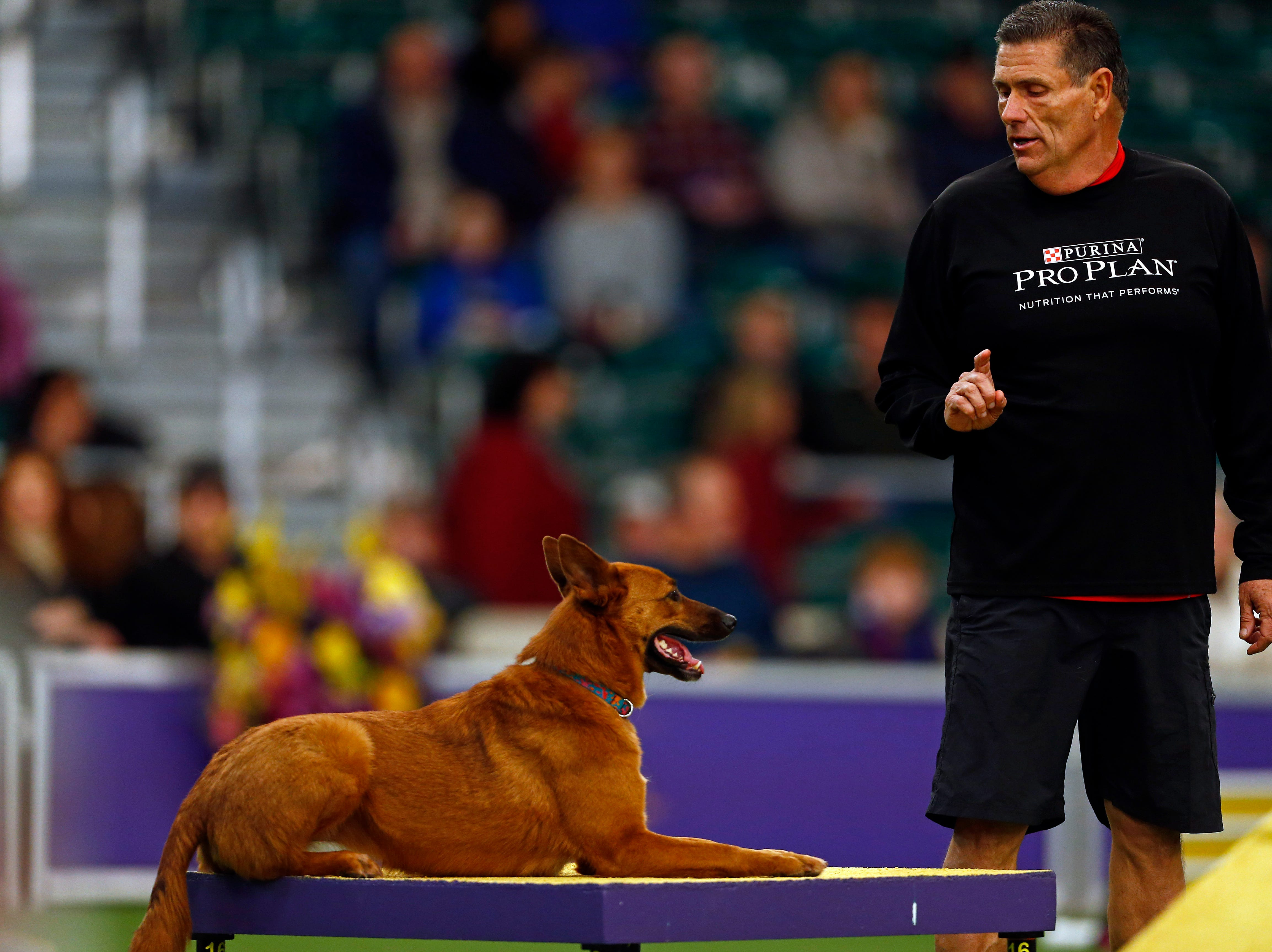 Zin, an All American Dog, is seen during masters agility preliminaries.