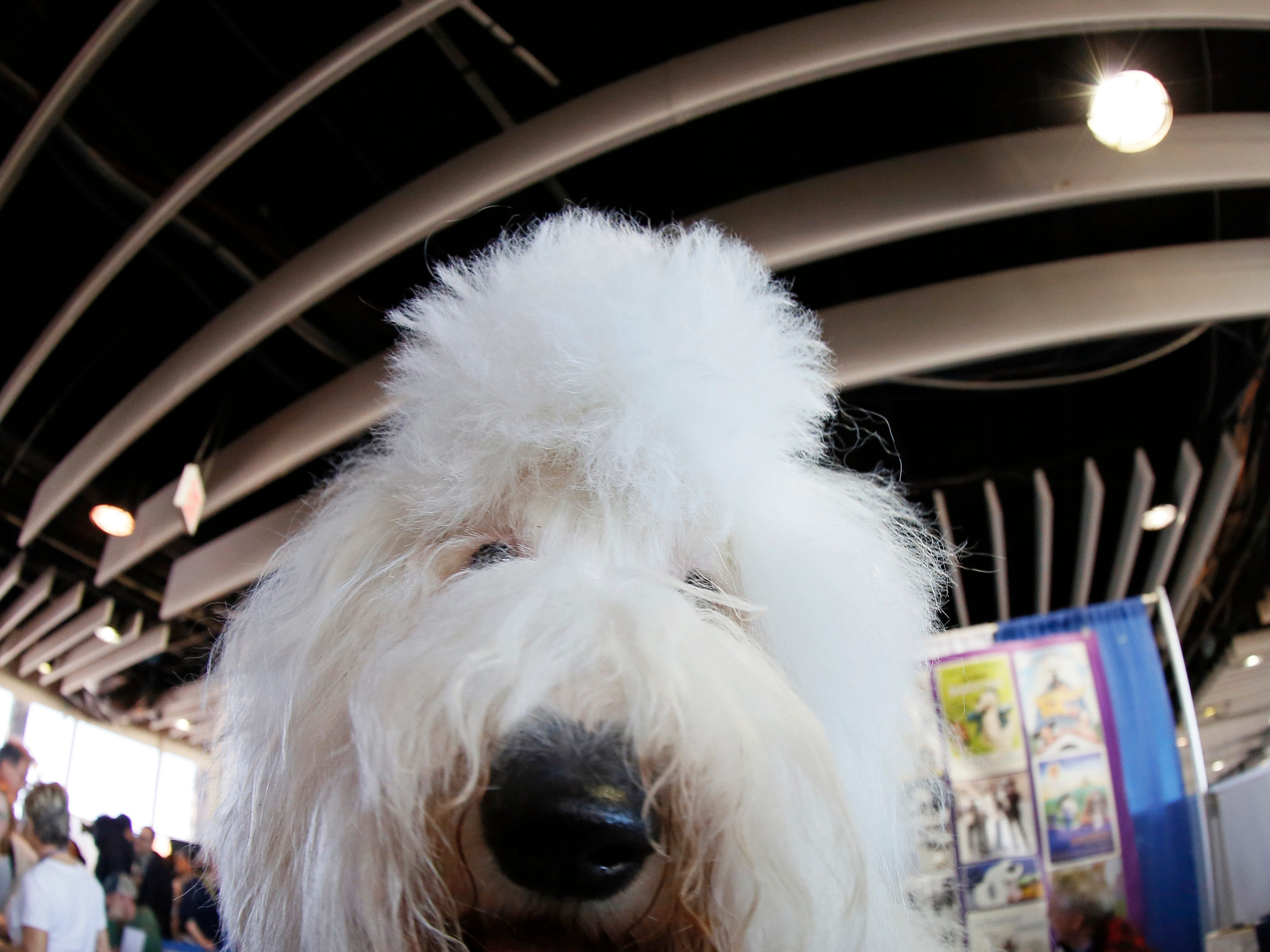 An Old English Sheepdog is seen during the meet the breeds at the 143rd Annual Westminster Kennel Club Dog Show.