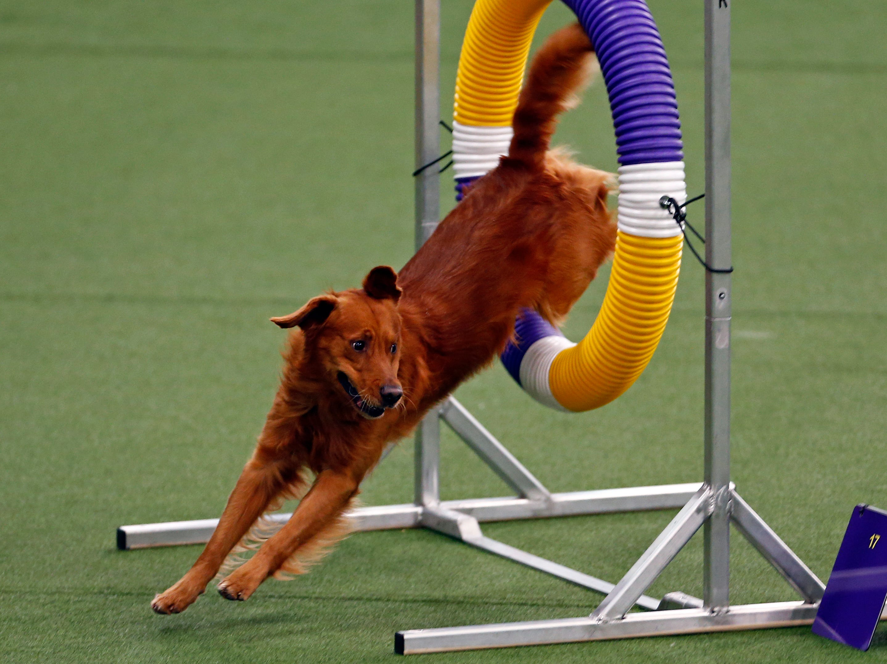 Amos, a Golden Retriever, is seen during masters agility preliminaries at the 143rd Annual Westminster Kennel Club Dog Show.