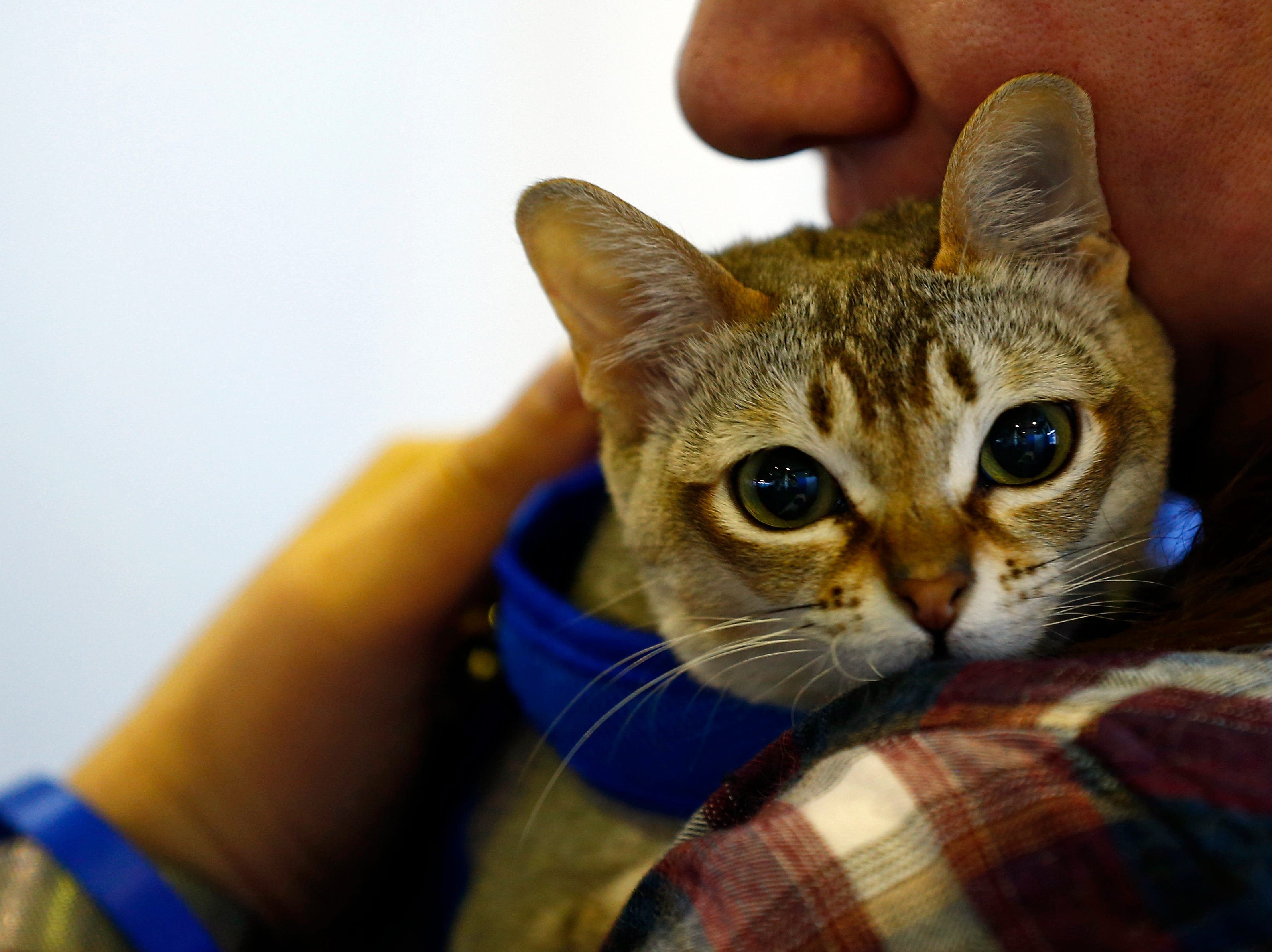 A Singapura cat is seen during the meet the breeds at the 143rd Annual Westminster Kennel Club Dog Show at Piers 92/94.