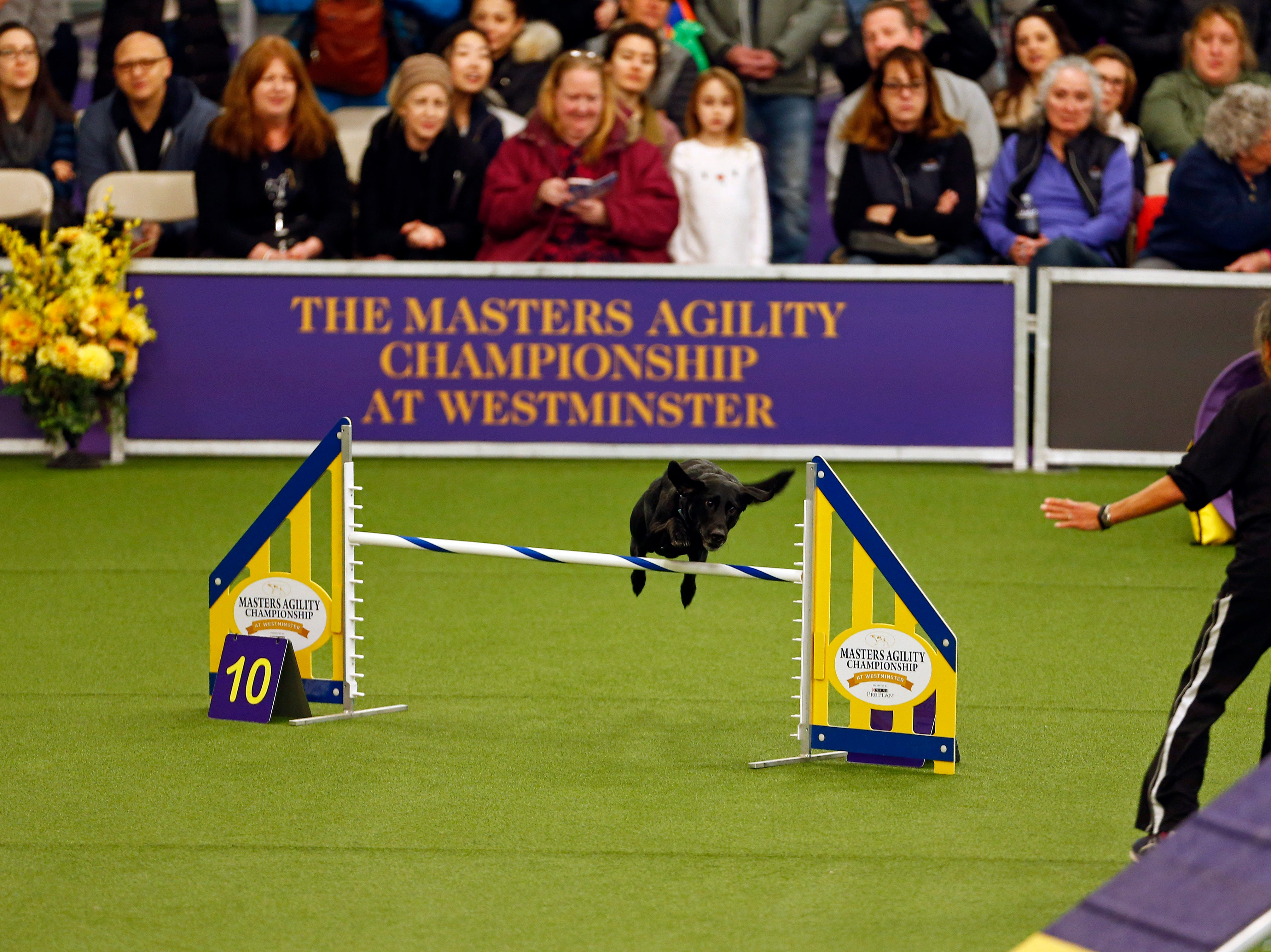 Chelsea, a Labrador Retriever, is seen during masters agility preliminaries.