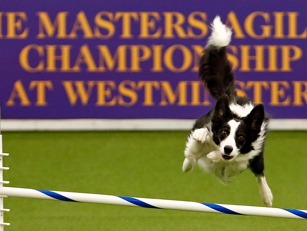 Trick, a Border Collie, is seen during masters agility preliminaries at the 143rd Annual Westminster Kennel Club Dog Show.