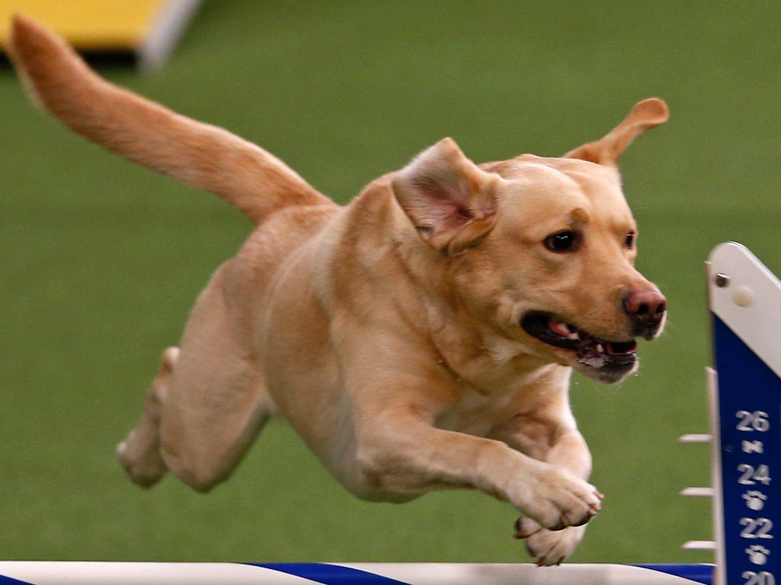Tag, a Labrador Retriever, is seen during masters agility preliminaries.