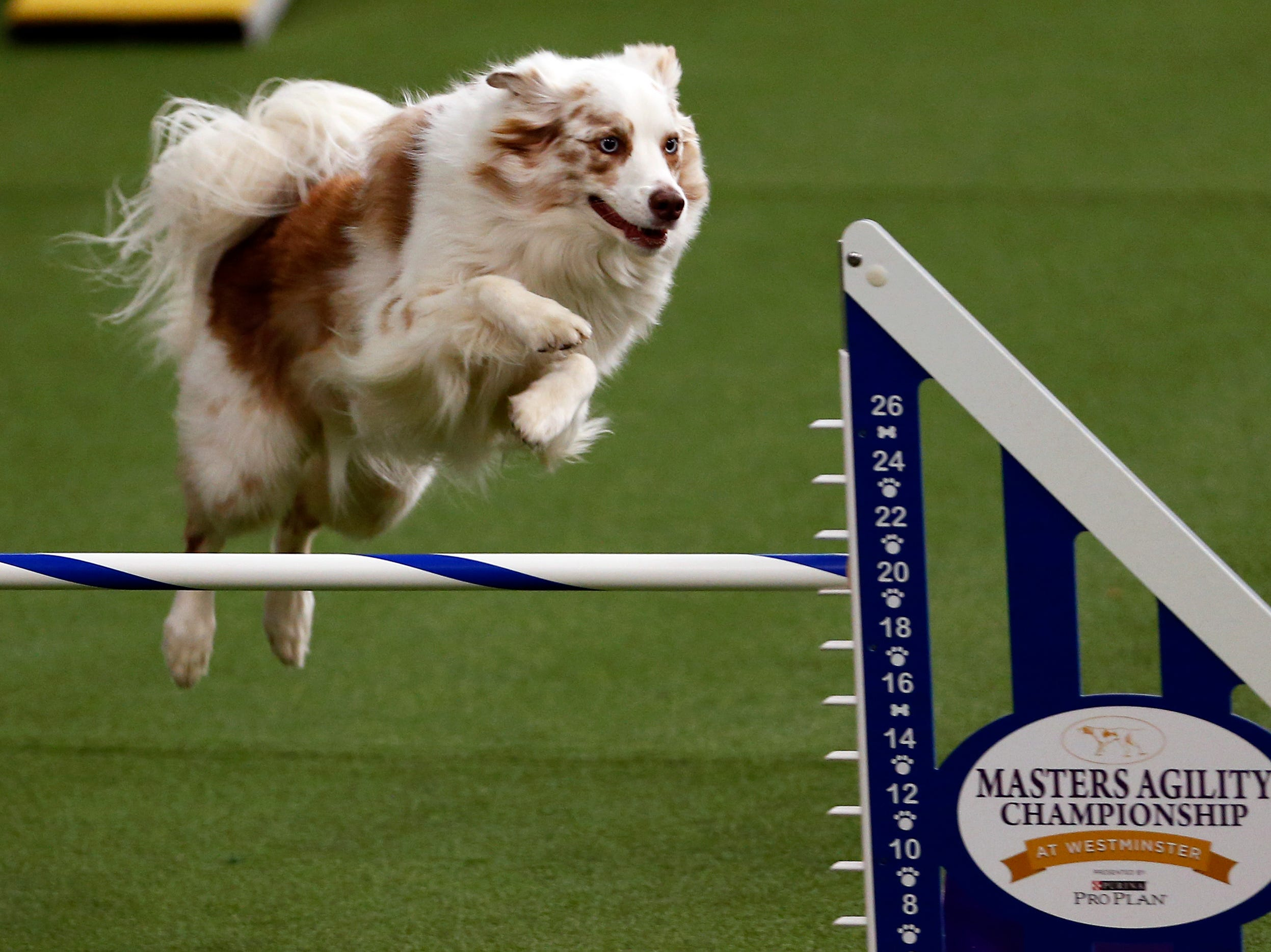 Gracie, an Australian Shepherd, is seen during masters agility preliminaries at the 143rd Annual Westminster Kennel Club Dog Show at Piers 92/94.