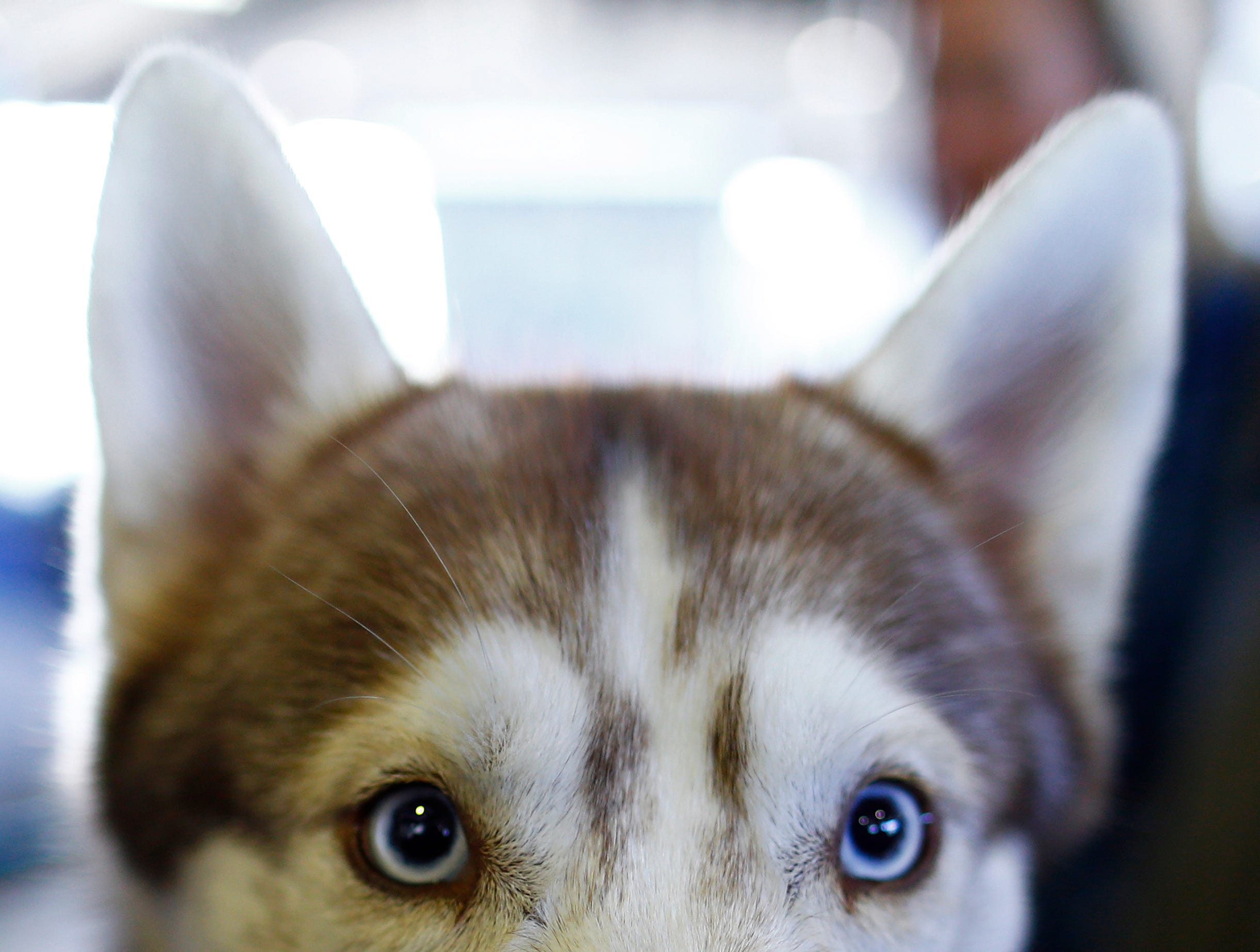 A Siberian Husky is seen during the meet the breeds at the 143rd Annual Westminster Kennel Club Dog Show at Piers 92/94.