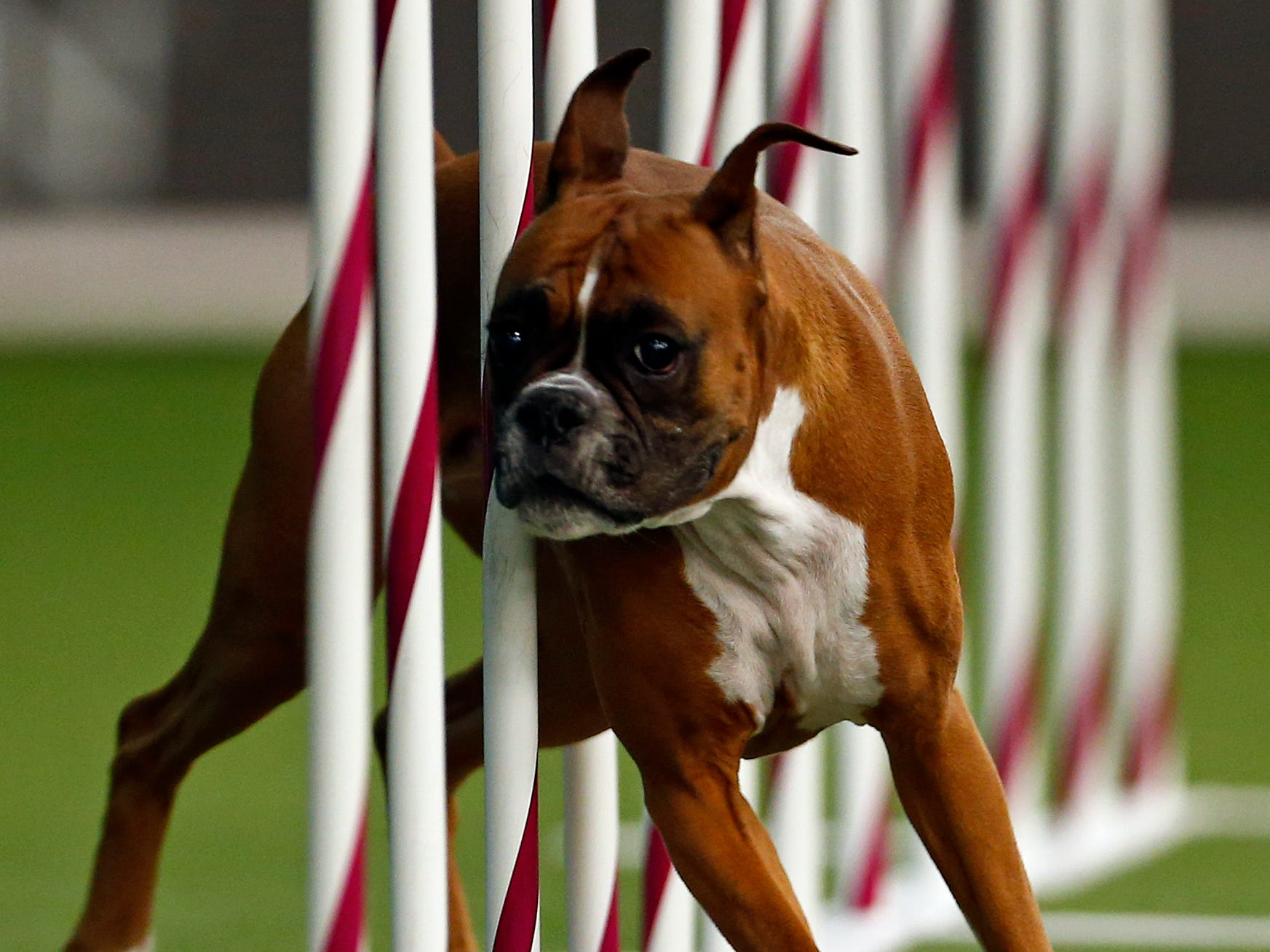 Debbie, a Boxer, is seen during masters agility preliminaries.