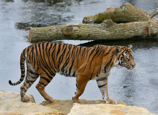 In this Wednesday, March 27, 2013 file photo, Melati a female Sumatran Tiger walks past her frozen pool at London Zoo.