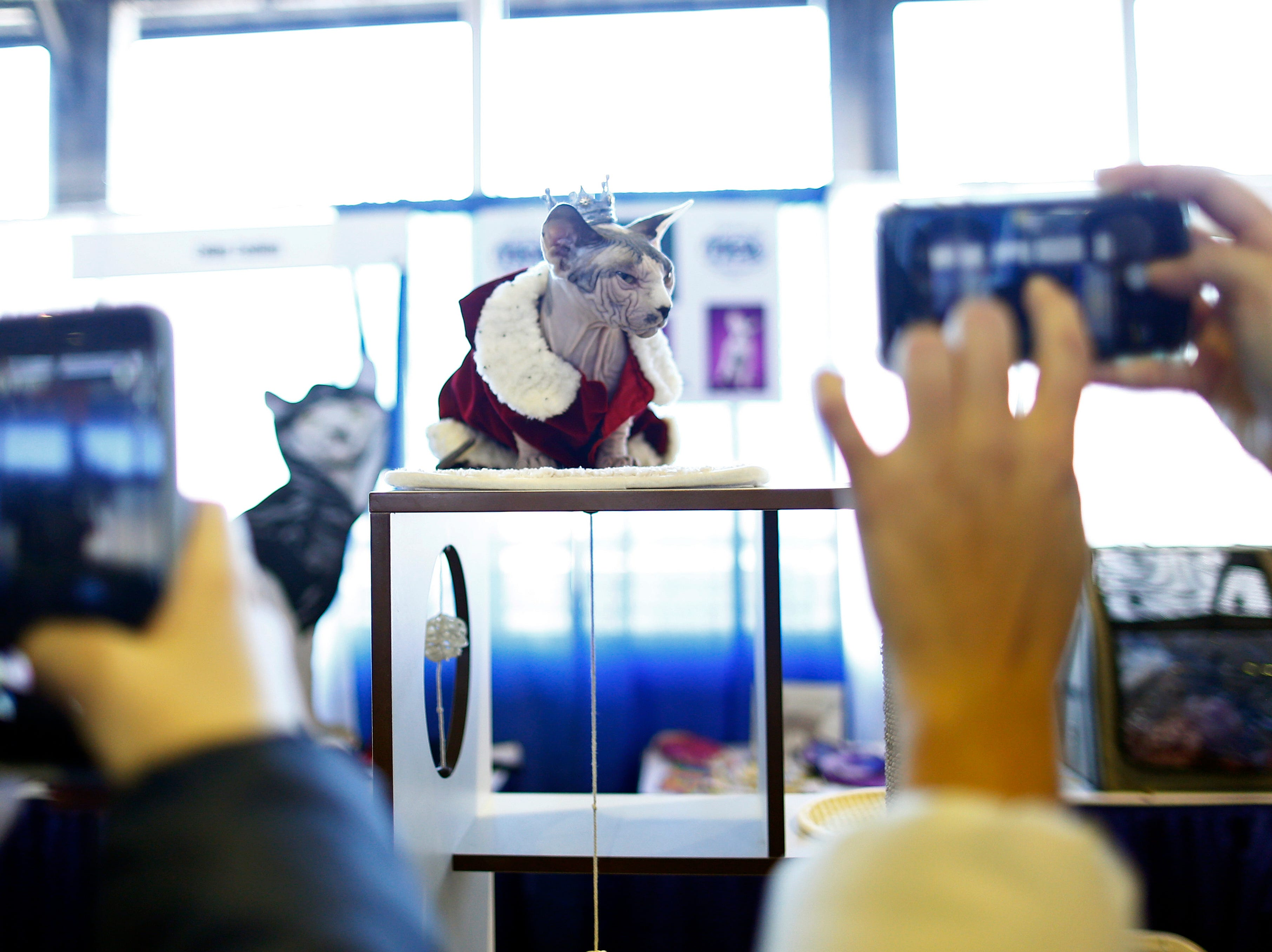 A Sphynx cat is photographed during the meet the breeds.