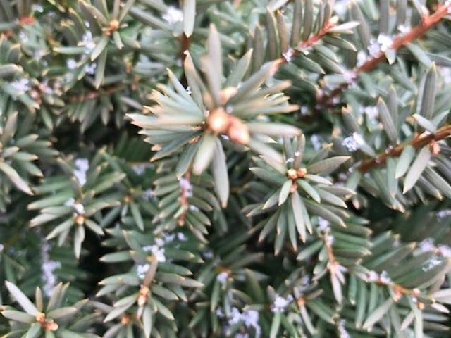 Evergreens etched with snow in Mount Healthy.