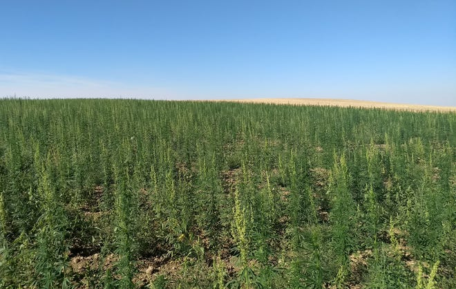 Dryland hemp grows near Big Sandy.