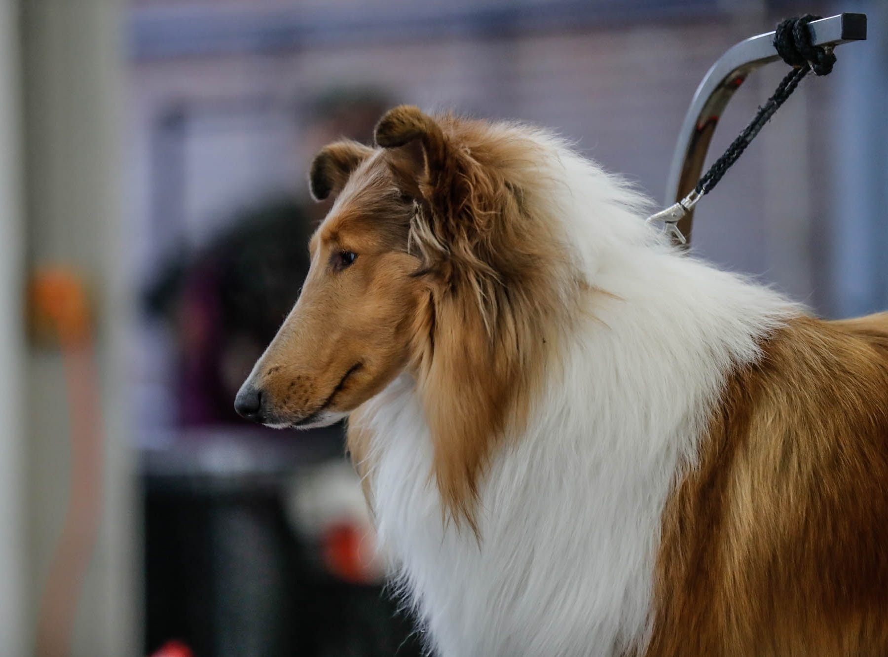 Glory, a rough coat collie belonging to George and Tammy Jacobs, is groomed during the Indy Winter Classic All Breed Dog Show, held at the Indiana State Fairgrounds on Sunday, Feb. 10, 2019.