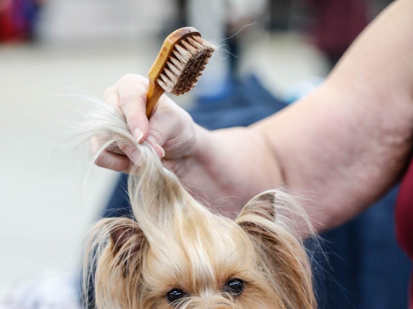 Julie Howard grooms her dog Trouble, a Yorkshire terrier, for the Indy Winter Classic All Breed Dog Show held at the Indiana State Fairgrounds on Sunday, Feb. 10, 2019.