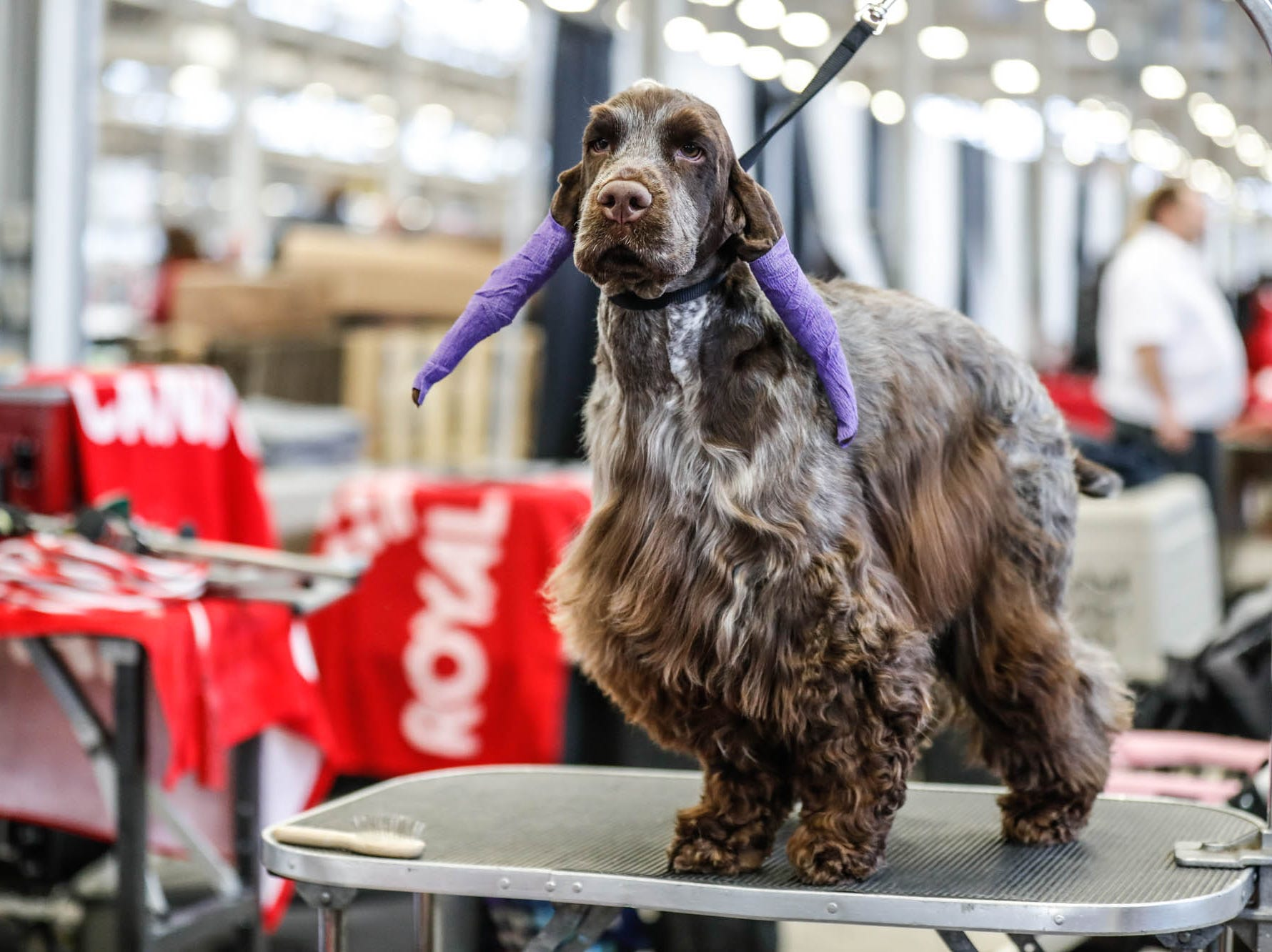 The ears of Badger, an English cocker spaniel, are wrapped during grooming for the Indy Winter Classic All Breed Dog Show held at the Indiana State Fairgrounds on Sunday, Feb. 10, 2019.