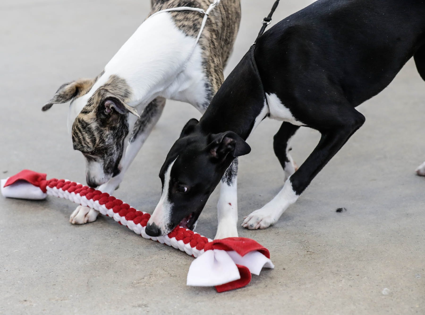 Whippets, Seymore, left, and Petra share a toy at the Indy Winter Classic All Breed Dog Show, held at the Indiana State Fairgrounds on Sunday, Feb. 10, 2019.
