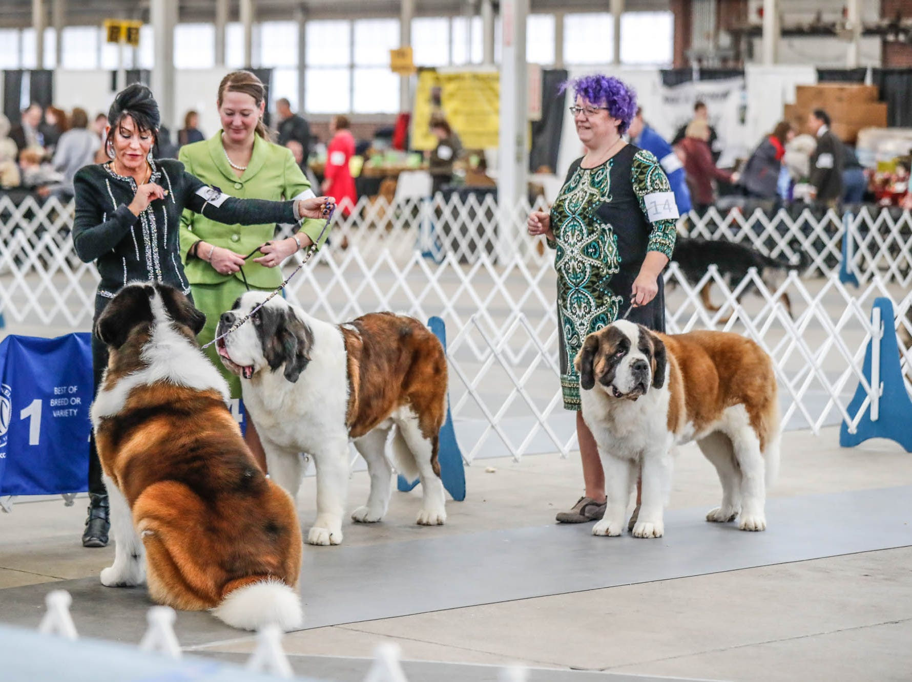 St. Bernards show during the Indy Winter Classic All Breed Dog Show, held at the Indiana State Fairgrounds on Sunday, Feb. 10, 2019.