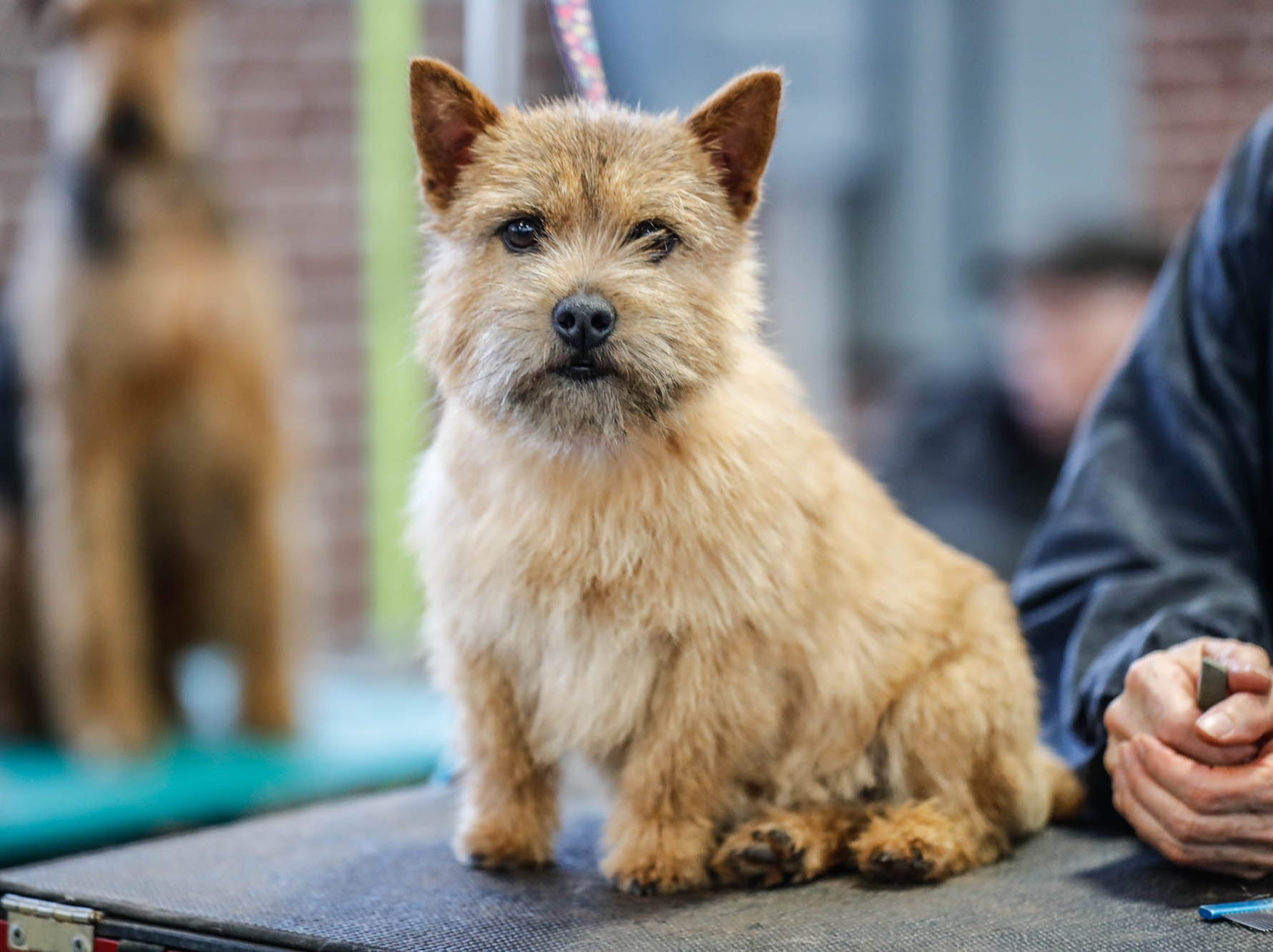 Baby, a Norwich Terrier the Indy Winter Classic All Breed Dog Show, held at the Indiana State Fairgrounds on Sunday, Feb. 10, 2019.