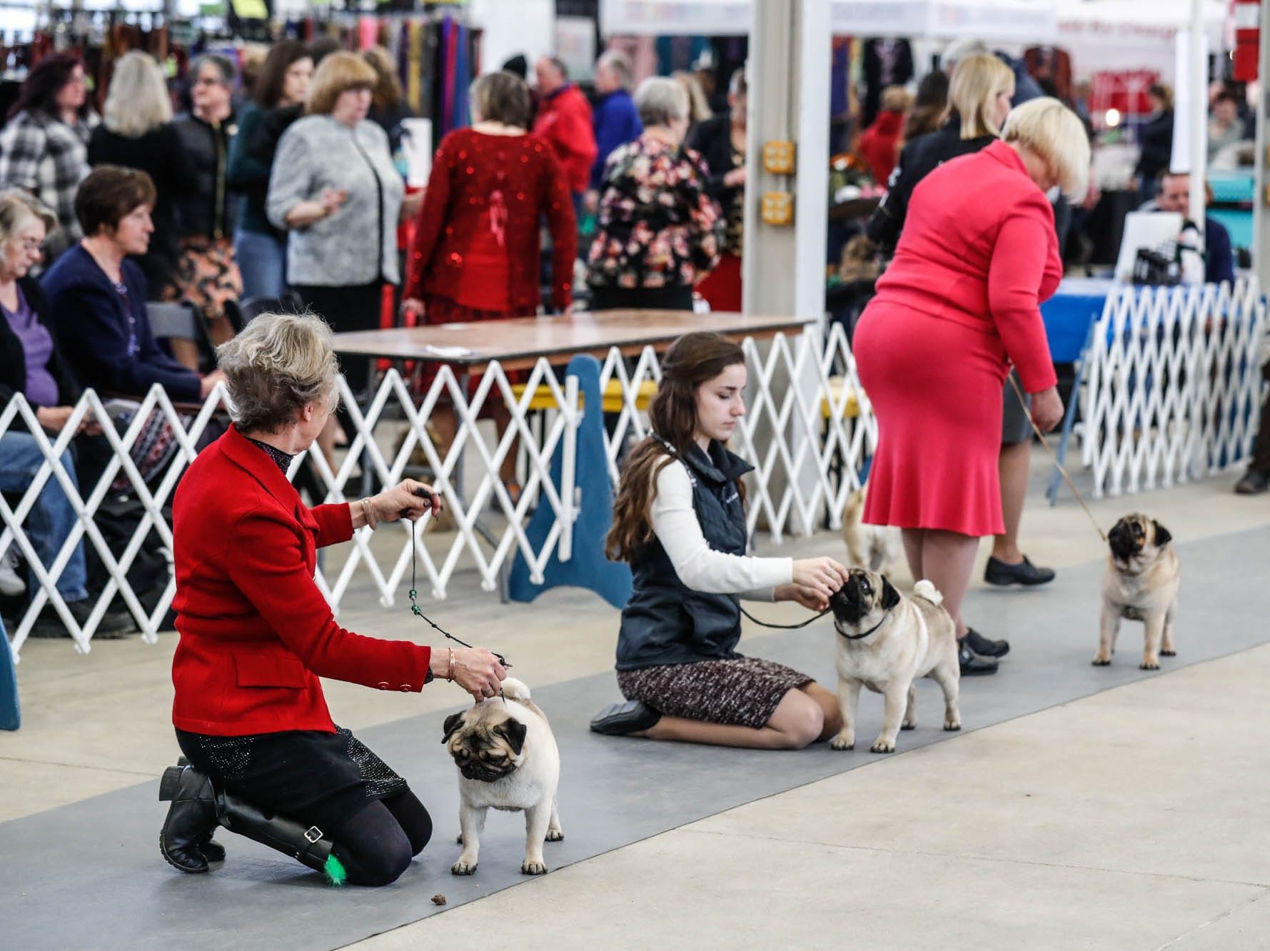 Pugs show at the Indy Winter Classic All Breed Dog Show held at the Indiana State Fairgrounds on Sunday, Feb. 10, 2019.
