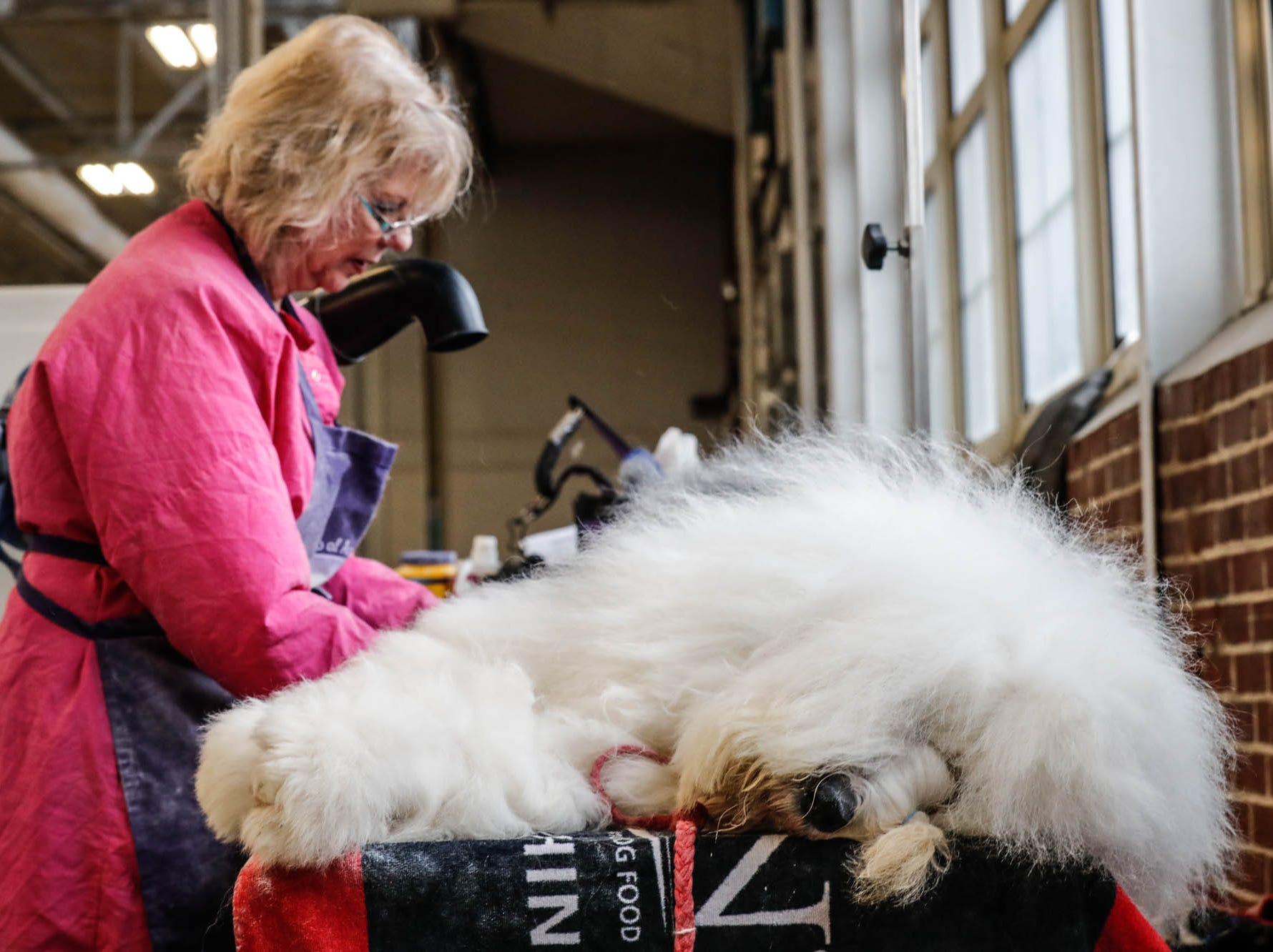Manhatten and Old English Sheepdog is groomed by Gere Marder during the Indy Winter Classic All Breed Dog Show, held at the Indiana State Fairgrounds on Sunday, Feb. 10, 2019.