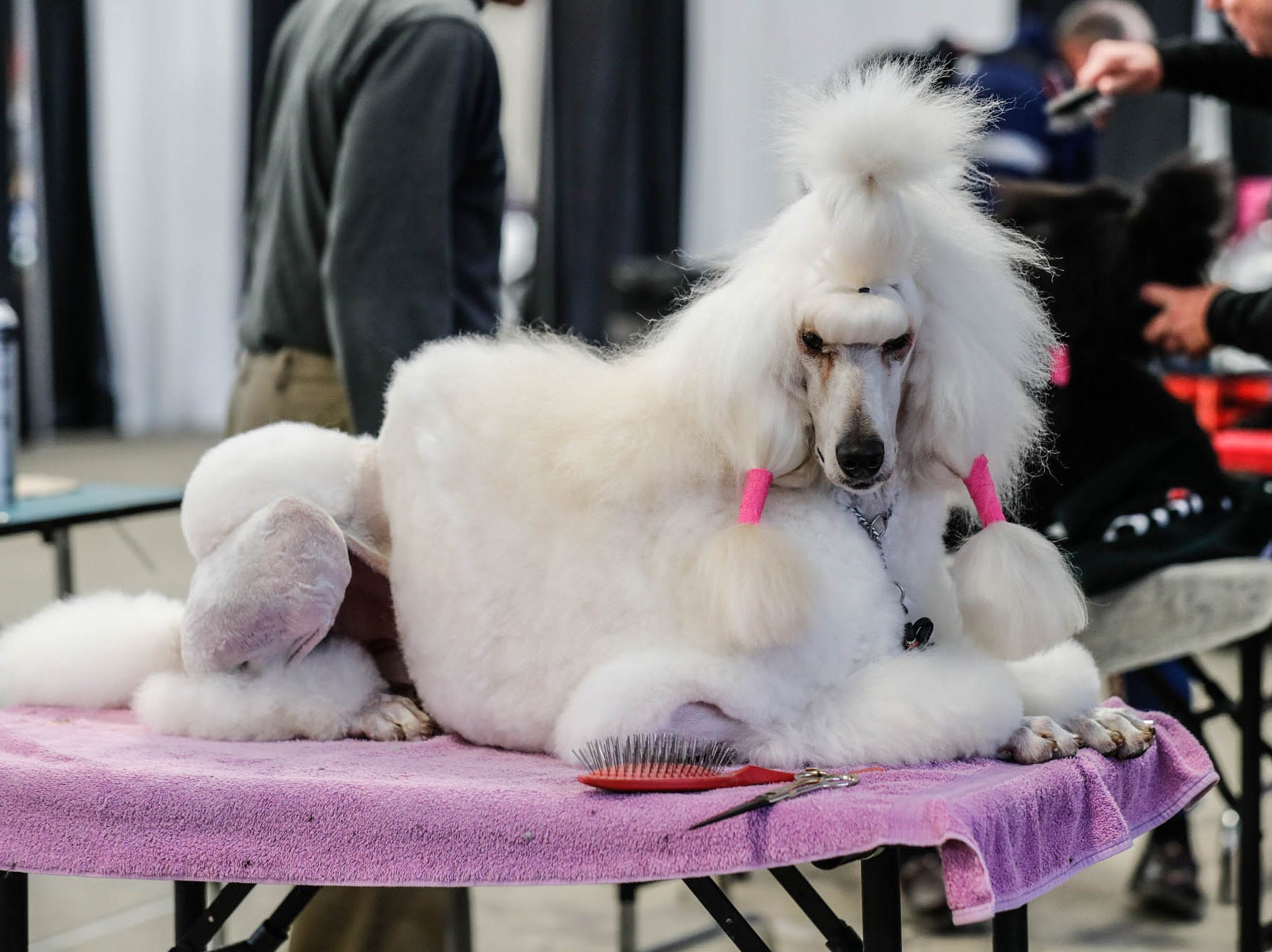 Molly, a Standard Poodle, is groomed during the Indy Winter Classic All Breed Dog Show, held at the Indiana State Fairgrounds on Sunday, Feb. 10, 2019.