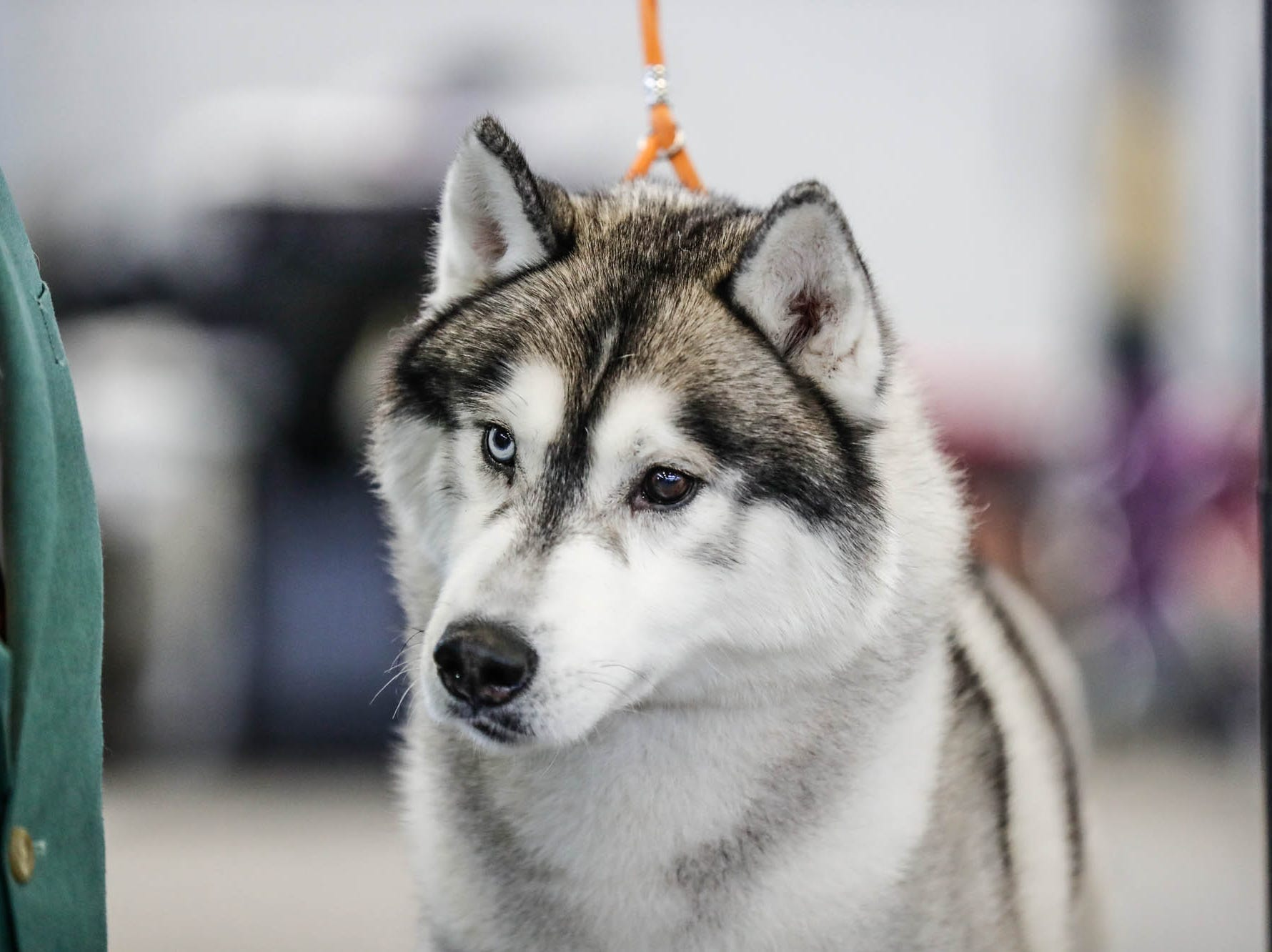 Grand Champion Karnovandas Stephen Cold Bear, a husky is groomed during the Indy Winter Classic All Breed Dog Show, held at the Indiana State Fairgrounds on Sunday, Feb. 10, 2019.