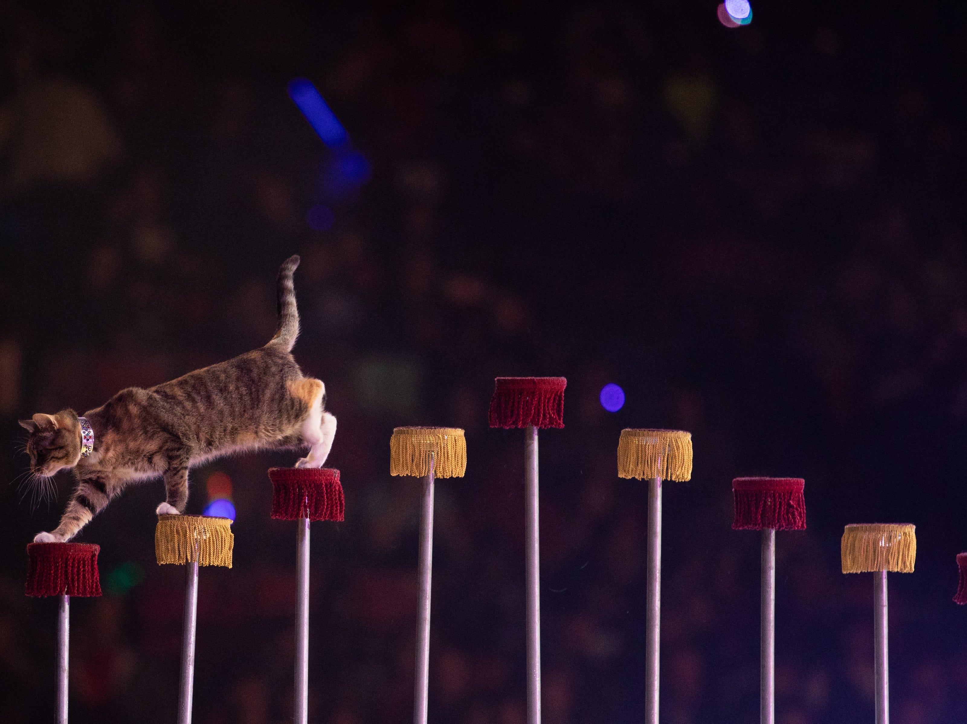 An agile feline performs during the Kosair Shrine Circus, Saturday, Feb. 9, 2019 in Louisville Ky.
