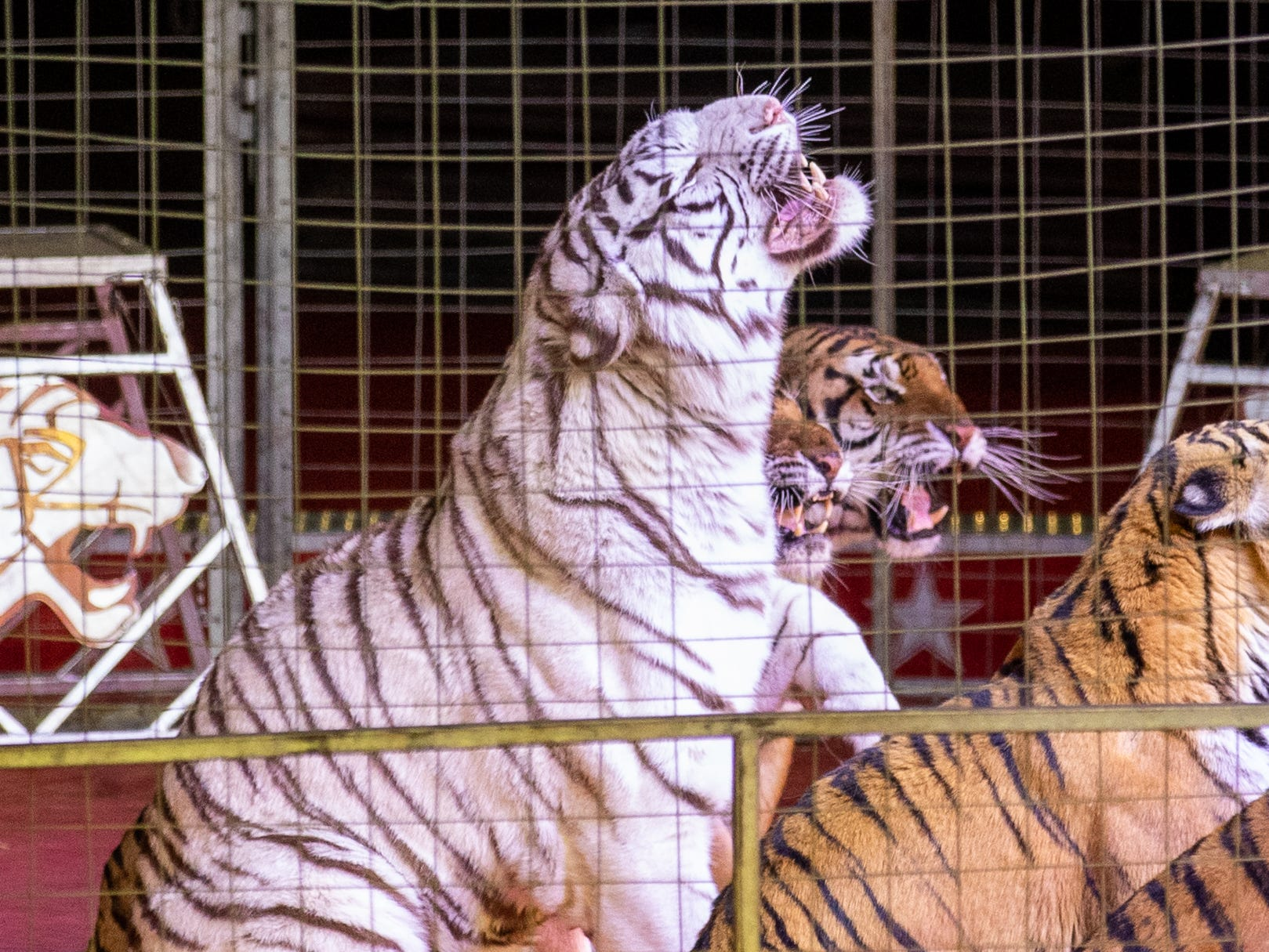 Standing up for the next trick, the rare white tiger opens his mouth showing off equally white teeth, Saturday, Feb. 9, 2019 in Louisville Ky. A mutation of the Bengal tiger so rare, its estimated only 1 in 10,000 tigers born in the wild is white.