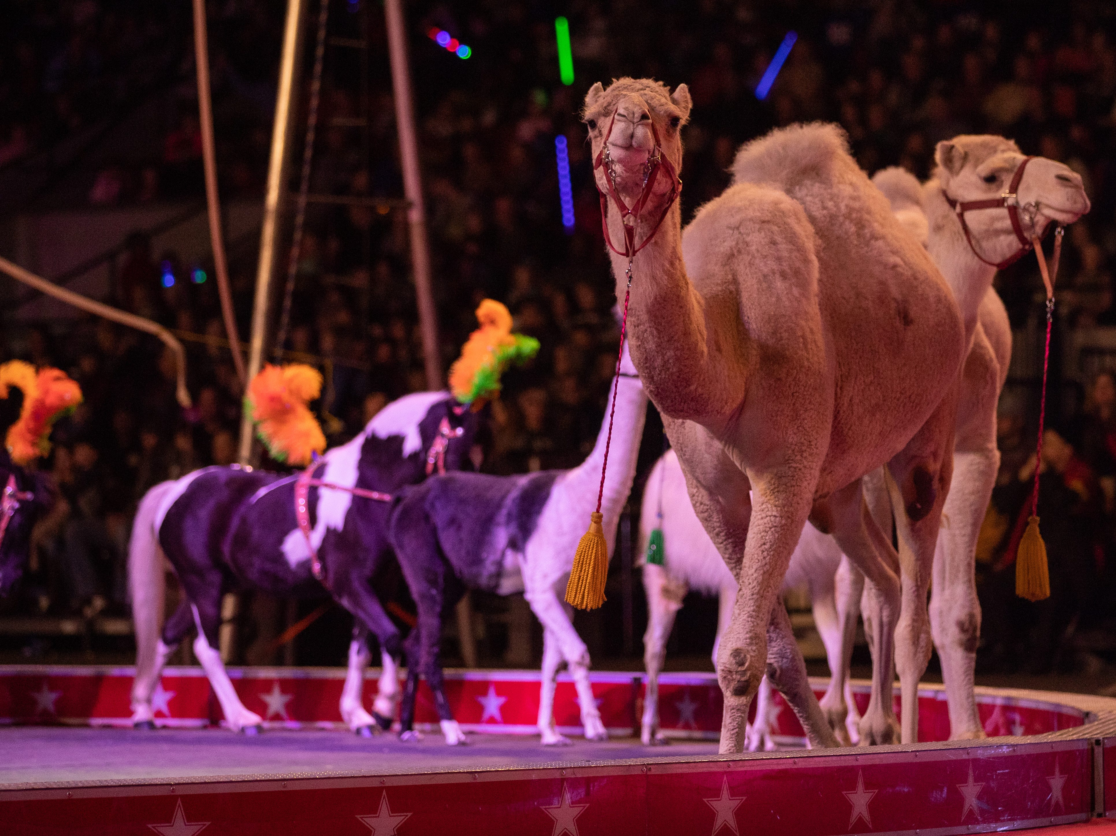 Camels lead a parade of animals in to the ring at the Kosair Shrine Circus, Saturday, Feb. 9, 2019 in Louisville Ky.