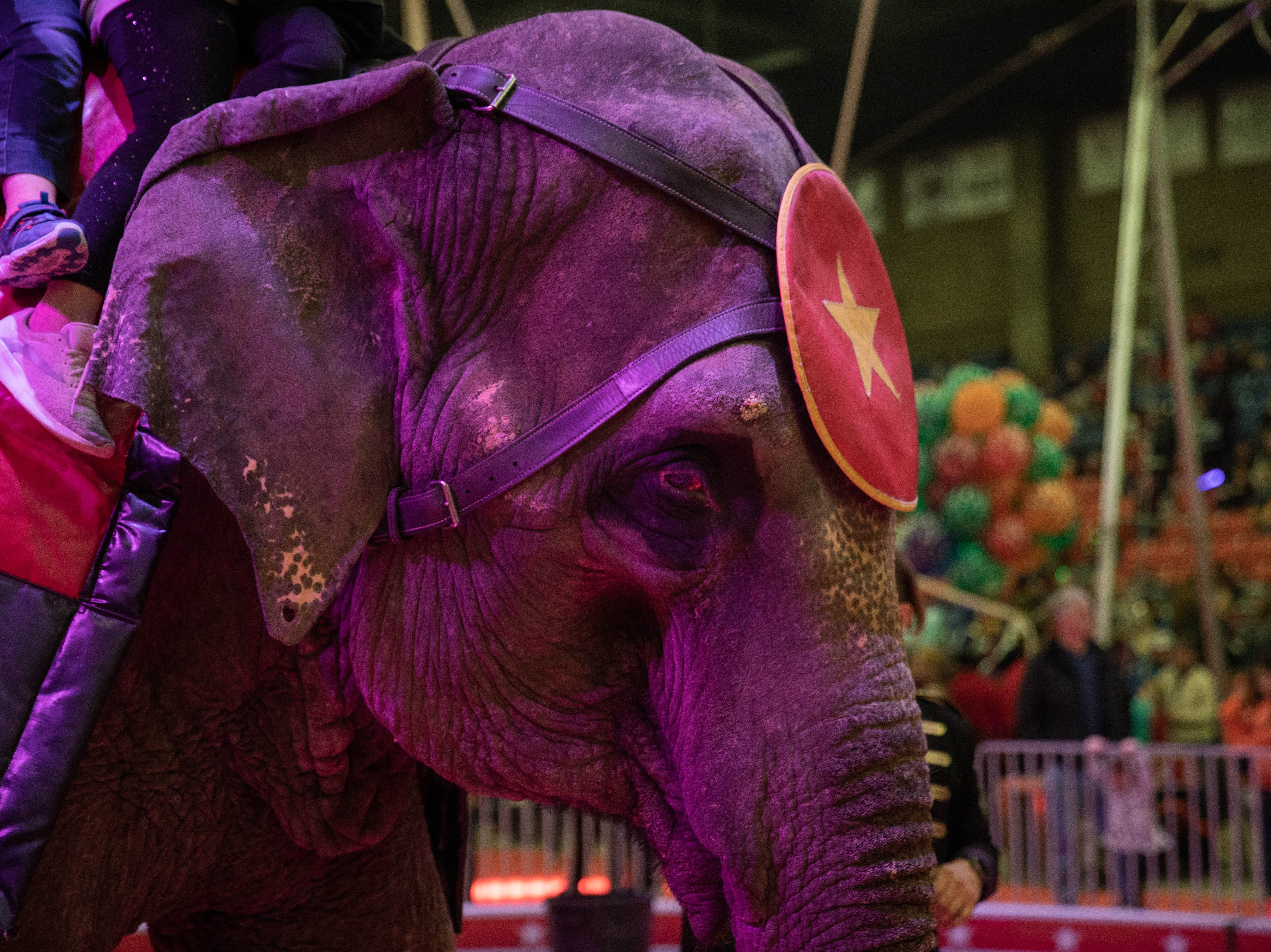 One of three elephants giving rides during intermission of the Kosair Shrine Circus, Saturday, Feb. 9, 2019 in Louisville Ky. The average age of these elephants is 40 years old; in captivity they can live to be 80, while their wild counterparts are more likely to live just 30-40 years.