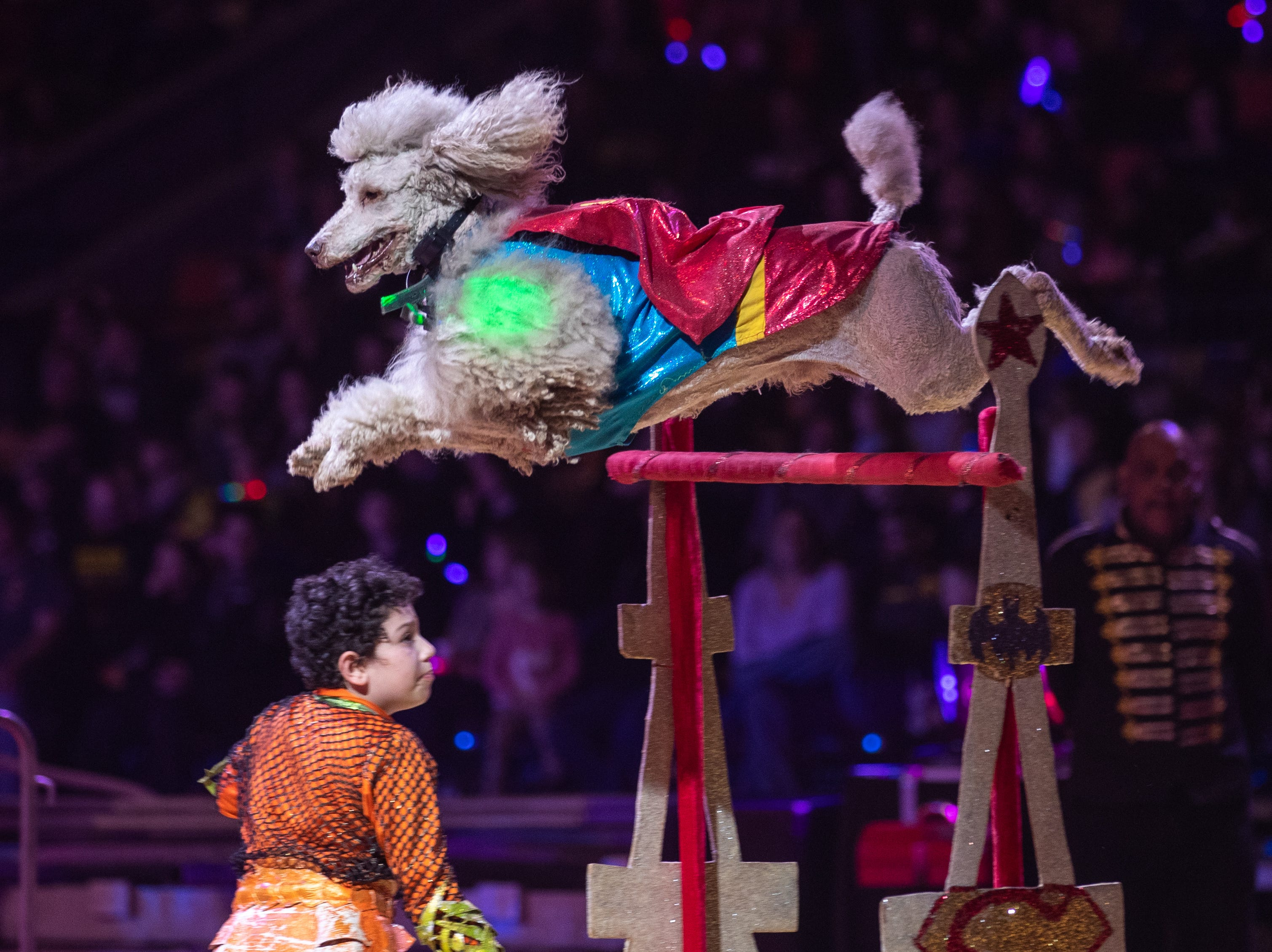 Super Poodle flies over the hurdle at the Kosair Shrine Circus, Saturday, Feb. 9, 2019 in Louisville Ky.