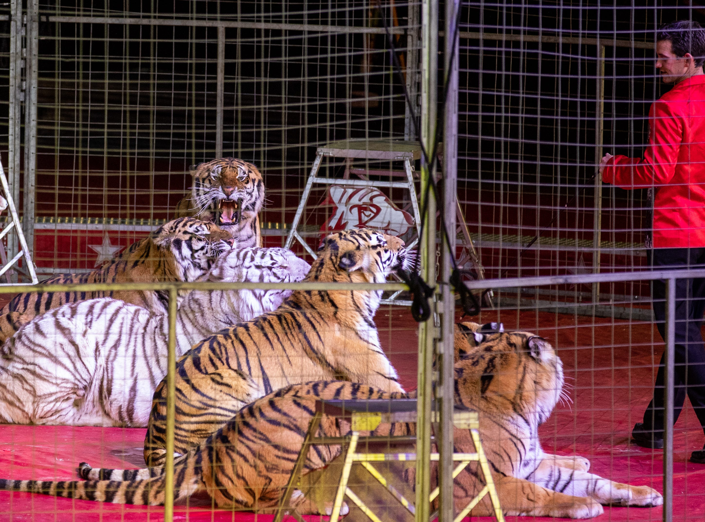 Tigers lay in front of the tiger trainer, Saturday, Feb. 9, 2019 in Louisville Ky.