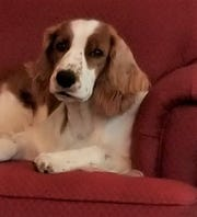 Myfanwy, a Welsh springer spaniel owned by Jack and Roxanne Satterfield of Middletown, will compete in the Westminster Kennel Club Dog Show for the first time on Tuesday, Feb. 12, 2019.