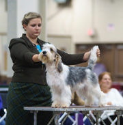 Brook, a petit basset griffon Vendeen owned by Betty Barth of New Castle County, will compete in the 2019 Westminster Kennel Club Dog Show in New York. Handler Jessica Rotondo shows Brook.