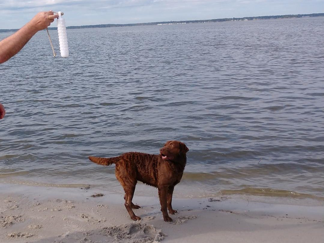 Trio, a Chesapeake Bay retriever owned by Chris and Karen Beste of Wilmington, will compete in the 2019 Westminster Kennel Club Dog Show in New York. He was the No. 1 male Chesapeake Bay retriever in breed in the country for the 2018 season.