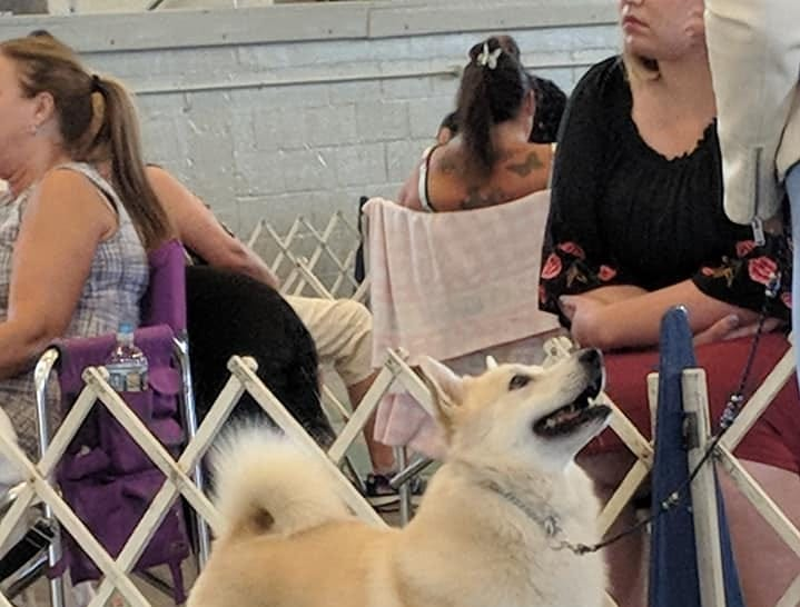 Ghost, a Norwegian buhund owned by Faye Adcox of Wyoming, Del., will compete at the 2019 Westminster Kennel Club Dog Show in New York. Ghost is the No. 6 buhund in the United States for 2018 and has been the No. 1 owner-handled buhund two years in a row.