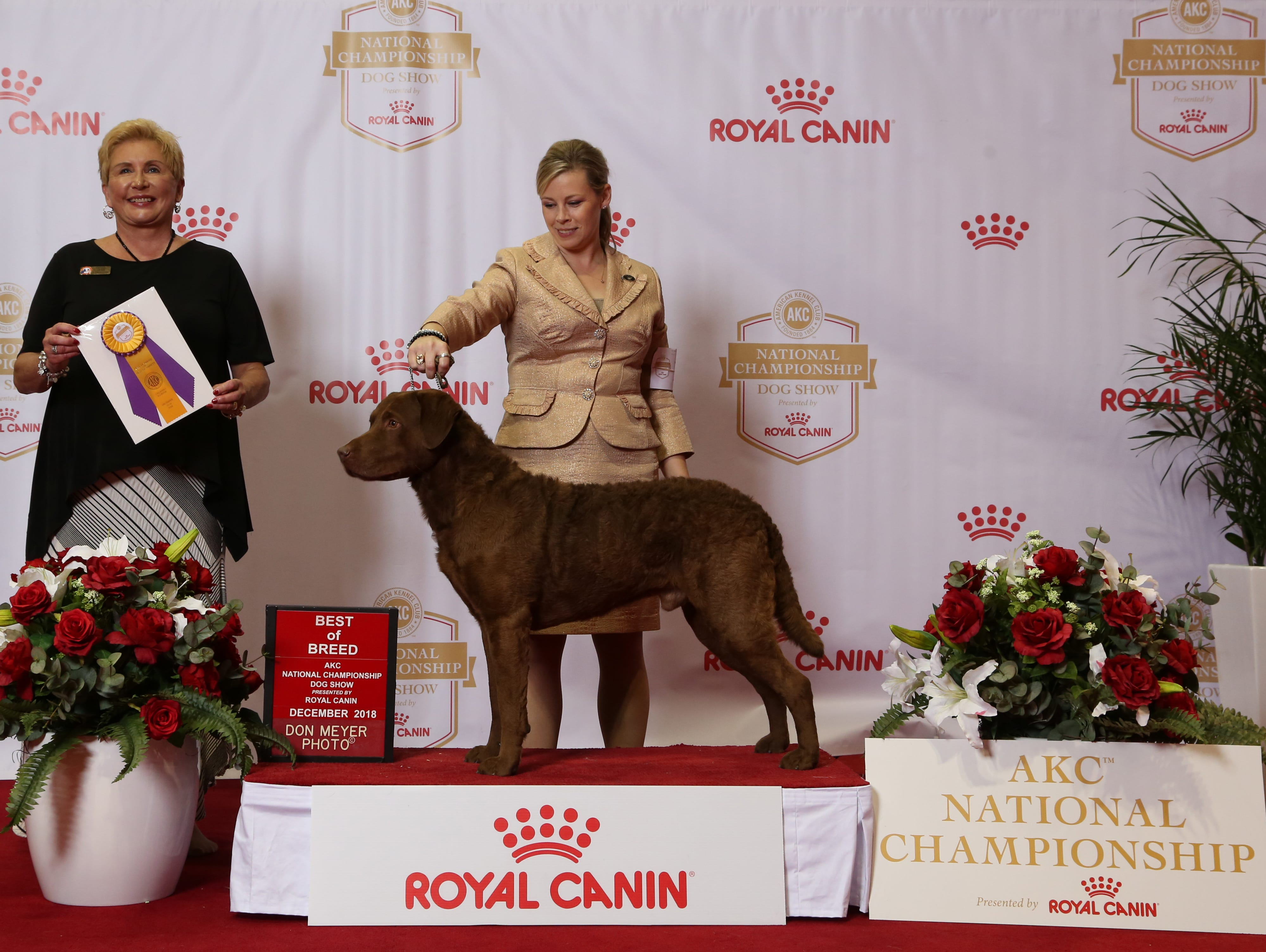 Trio, a Chesapeake Bay retriever owned by Chris and Karen Beste of Wilmington, wins Best of Breed at the AKC National Championship in Orlando, Fla., in December 2018. He is shown by handler Angela Lloyd. Trio will compete in the 2019 Westminster Kennel Club Dog Show in New York. He was the No. 1 male Chesapeake Bay retriever in breed in the country for the 2018 season.