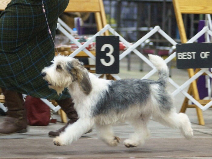Brook, a petit basset griffon Vendeen owned by Betty Barth of New Castle County, will compete in the 2019 Westminster Kennel Club Dog Show in New York.