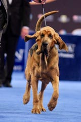 Owen, a bloodhound owned by Rick and Stacie Shriver of Bear, will be competing in the 2019 Westminster Kennel Club Dog Show in New York.