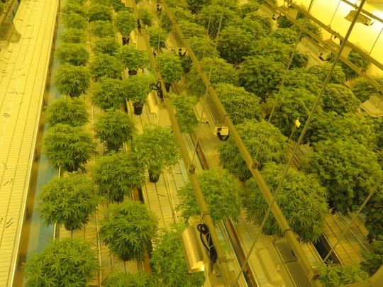 Cannabis plants lined up in the Canopy Growth facility in Smiths Falls, Ontario.