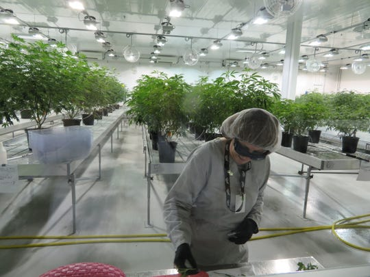 "A production worker at the Canopy Growth grow room in Smiths Falls, Ontario. The plants are called ""mothers."" Cuttings from this room are used to start new plants that are used to harvest marijuana and and THC-infused CBD oil."