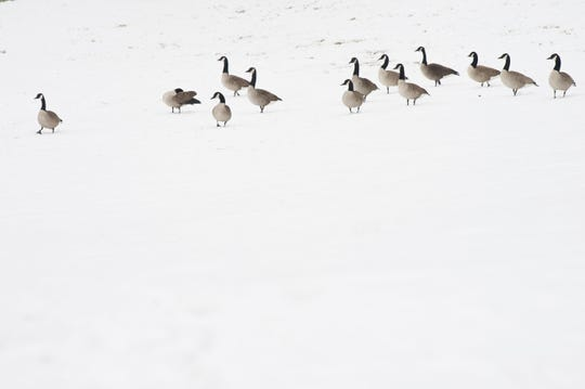 Geese gather along the Camden Waterfront following snowfall Monday, Feb. 11, 2019 in Camden, N.J.