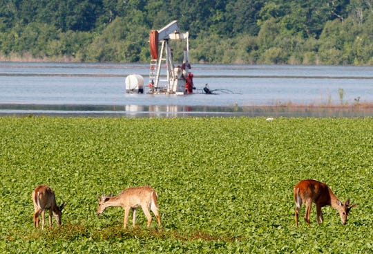 In this May 18, 2011, file photo, deer feed in a field near a partially-flooded oil derrick in Concordia Parish, La. The state of Mississippi is suing the federal government for at least $25 million, claiming a federal dam complex in Louisiana that keeps the Mississippi River from changing course is harming state land. The suit was filed Monday in the Court of Federal Claims by Mississippi officials on behalf of three school districts.