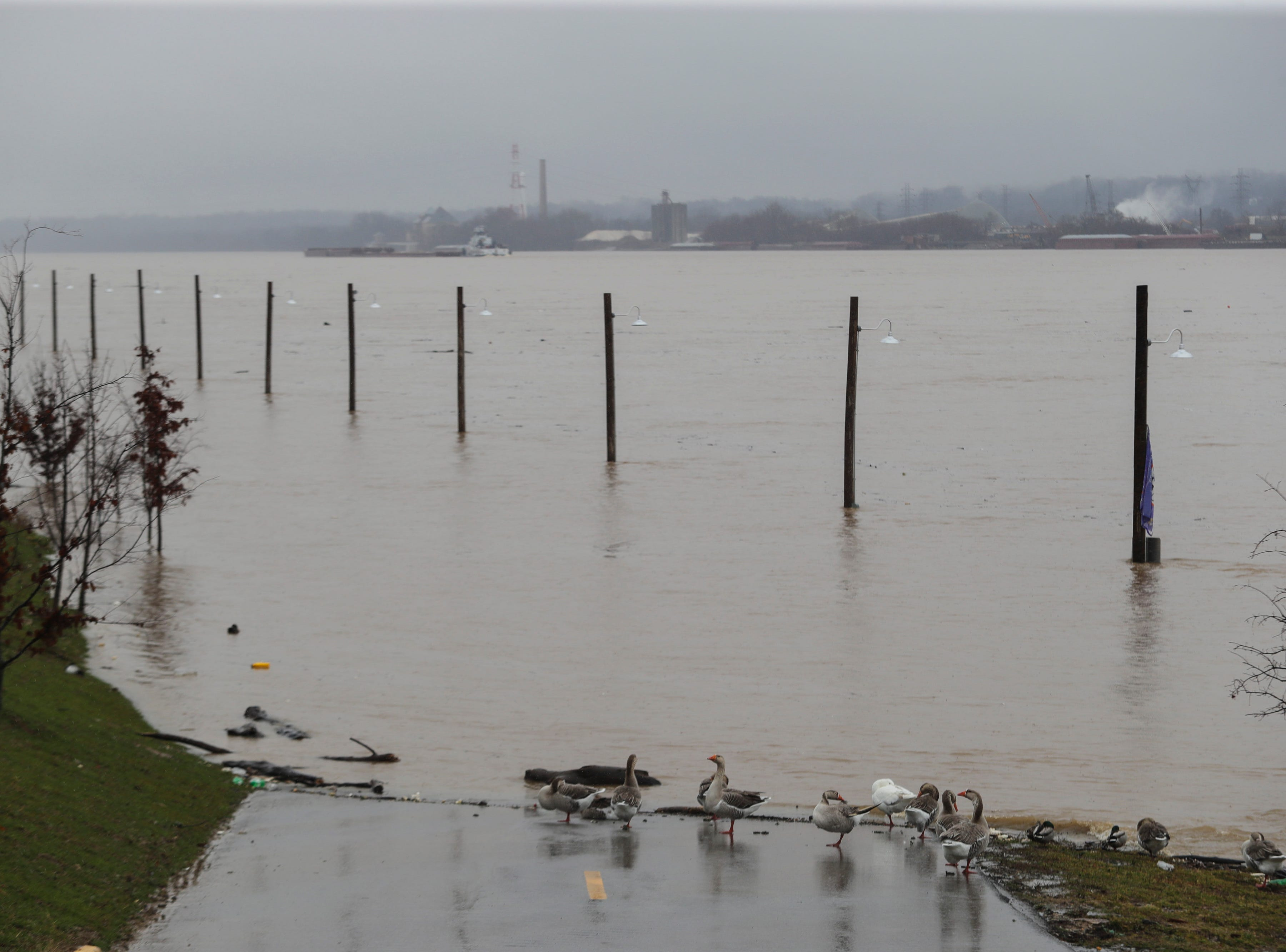Ducks meander along the bank in Utica, Ind. as Ohio River water levels begin to rise. Feb. 11, 2019
