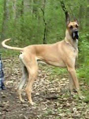 "The fate of a 120-pound Great Dane named George, who was declared a ""prohibited dangerous animal"" by Waukesha County following two incidents in 2018 that resulted in minor injuries at a Waukesha family's home, remains uncertain as a lawsuit filed by the family slowly proceeds. Officials had ordered that George has to be euthanized or relocated outside the county."