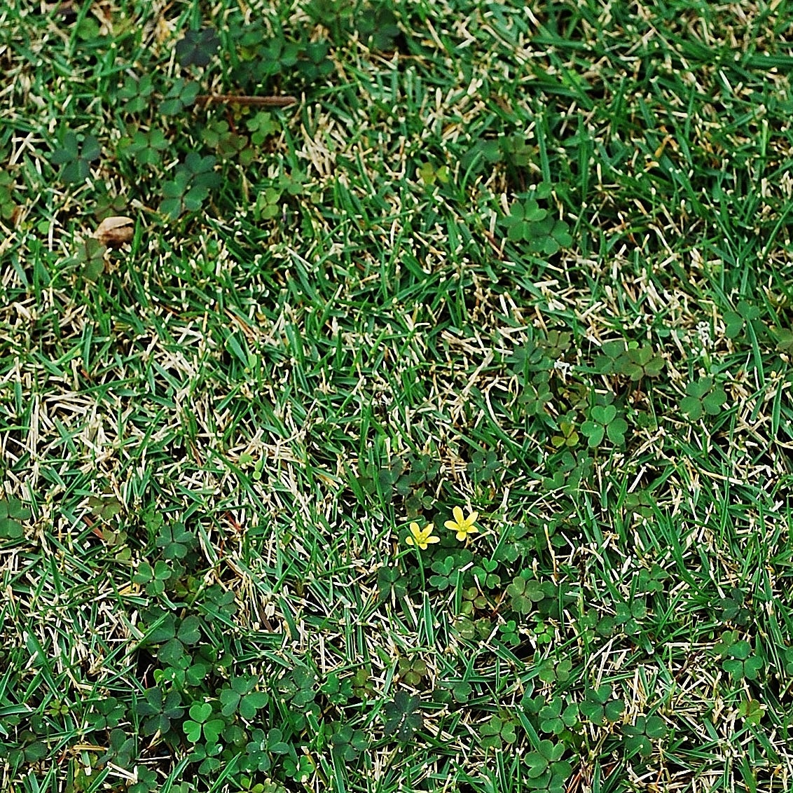 Proper maintenance your best control in battle against lawn weeds