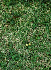 Though the grass is not growing much in the winter, it is still a good idea to mow the lawn occasionally. Winter weeds are growing and flowering. Mowing regularly will reduce flowering and prevent the formation of seeds, which means fewer weeds next winter.