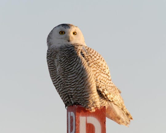 A snowy owl perched on a pole one icy morning day at Stone Harbor, New Jersey, sparked photographer Hank Davis interested in birds.