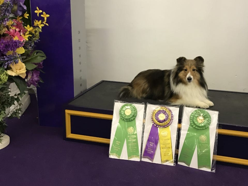 Pippa, a Shetland sheepdog owned by Kate Felton of Bellefonte, shows off her ribbons won for the two classes and a double Q at the 2019 Westminster Masters Agility Championship on Saturday, Feb. 9, 2019.